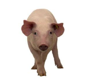 De Varkenspraktijk een stap vooruit